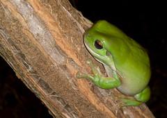 Green Tree Frog (amandil_eldamar) Tags: nokia lumia1020
