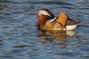 Mandarin Duck (Stephen J Pollard (Loud Music Lover of Nature)) Tags: aixgalericulata pato duck patomandarín mandarinduck bird ave nature naturaleza fauna wildlife