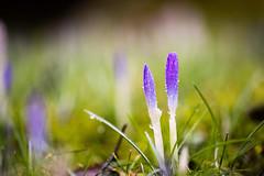 Spring Is Coming (Gr@vity) Tags: flower macro spring sony f2 blume krokus frühling a7s olympuszuiko90mmf2macro