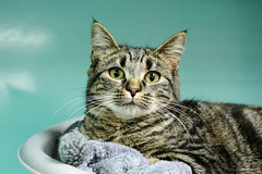 Lola A L'ADOPTION SPA ETALONDES (Mariie76) Tags: chat animaux protection spa adoption refuge 76 flin tigr socitprotectricedesanimaux etalondes