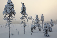 #197 Snow Load (Juhani Syvoja) Tags: winter sky mist snow tree fog pine forest finland landscape outdoor nordic scandinavia northern bog mire ylitornio canoneos6d perpohjola nuuskakaira
