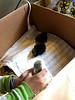 Our baby chicks arrived today.  They are less than a week old--2-14-16 (Whozyrdaddy) Tags: chickens chicks brahma australorp 2016 plymouthrock