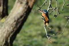 _HNS8094IJsvogel : Martin-pecheur d'Europe : Alcedo atthis : Eisvogel : River Kingfisher