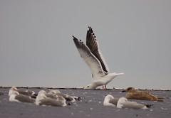 Slaty-backed Gull (Christopher Lindsey) Tags: winter birds marina washington birding columbiariver slatybackedgull bentoncounty columbiapark batemanisland columbiaparkmarina