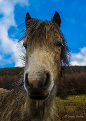 Meet the Tony (JKmedia) Tags: horse wales countryside pony snowdonia gwynedd northwales 2016 aberfalls snowdonianationalpark rhaeadrfawr abergwyngregyn canoneos7dmarkii boultonphotography