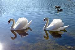 2 x 2  = 4 (mama knipst!) Tags: bird natur schwan vogel ende rheinauebonn