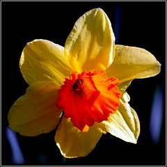 Narcissus (* RICHARD M (Over 6 million views)) Tags: flowers plants nature march petals spring flora corona stamen daffodil botany springtime narcissus jonquil amaryllidaceae tepals daffadowndilly narcisseae