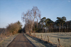Warmed by the Morning Sun (fixedfocallength) Tags: leica winter lumix morninglight hoarfrost panasonic commuting birchtree m43 mft gx7 microfourthirds leicadgsummilux leicadgsummilux15mm117