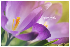 3 watermarked (riann.evans) Tags: flowers wild flower colour nature contrast garden spring pretty purple crocus