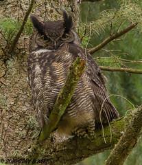 Great Horned Owl (orencobirder) Tags: birds owls flickrexport largebirds
