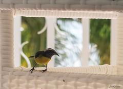 Sucrier à ventre jaune au-dessus de ma terrasse (Kri1978) Tags: jaune ventre merle oiseaux guadeloupe gwada quiscale antille sucrier sikrié