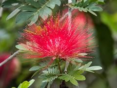 Silk Tree Flower (Makgobokgobo) Tags: africa flower tree kenya nairobi karen silktree albizia albiziajulibrissin persiansilktree