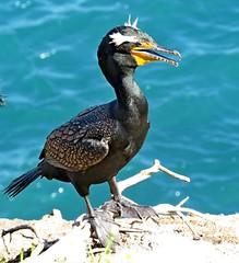 Double-crested Cormorant, La Jolla, CA 3/10/16 (LJHankandKaren) Tags: cormorant doublecrestedcormorant