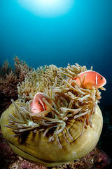 Pink clownfish couple in a bowling anemone (Luko GR) Tags: animal underwater outdoor philippines bluewater clownfish anemone bohol reef panglao balicasag sunball giantanemone amphiprionperideraion pinkskunkclownfish
