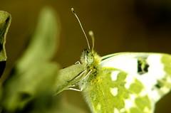 Hypnosis (Capturedbyhunter) Tags: portugal butterfly pentax borboleta santarm fernando 35 marques vivitar hypnosis k5 ribatejo coruche hipnose caador 75205 fajarda