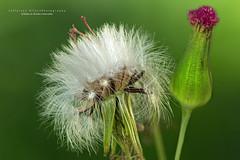 Flower (Jefferson Allan - Photographer) Tags: macro natureza infrared paisagens fotografiacampinas empilhamentodefoco jeffersonallan fotografojeffersonallan