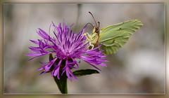 ... sie sind auch schon unterwegs (Harald52) Tags: tiere natur blte insekten schmetterling zitronenfalter tagfalter