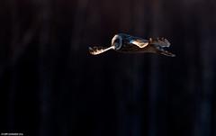 Suopöllö (mattisj) Tags: birds suomi aves eläimet strigiformes fåglar linnut strigidae tornio shortearedowl asioflammeus pöllöt suopöllö raumojärvi jorduggla lapinlääni lapinmaakunta pöllölinnut kemi–tornionseutu