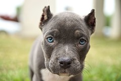 Malice Portrait (This_is_JEPhotography) Tags: blue portrait dog pet beautiful grass animal puppy photography eyes small pit pitbull pup bully malice jphotography