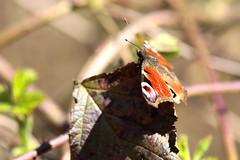 La prima farfalla !!! (carlo612001) Tags: primavera nature butterfly spring natura farfalla parcodelticino