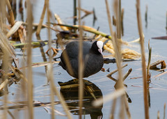 European Coot (El Mariachi Minsk) Tags: wild bird water birds animals canon europe european belarus canoneos minsk coot waterhen canonef70200mmf28lis wildnature canonllens canon7d europeannature