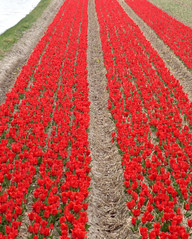 First tulips (Martin van Duijn) Tags: flower holland netherlands season tulips bulbs bas pays lisse hollanda niederland