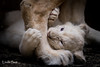 DSC_9244-1 (Linda Smit Wildlife Impressions) Tags: cats white nature animal cat mammal photography big nikon outdoor african wildlife birth lion d750 cubs endangered lioness bigcats cecil carnivore lioncubs givingbirth