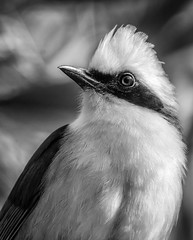 DSC_9572-Edit-5 (craigchaddock) Tags: nepal blackandwhite monochrome 300mm iso1600 safaripark southchina laughingthrush whitecrestedlaughingthrush garrulaxleucolophus wingsoftheworldaviary sandiegozoosafaripark himalayanfoothill