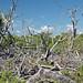 Tree skeletons from 2004's Hurricane Charley (Cayo Costa Island, Florida, USA) 4