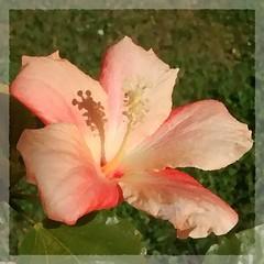Hibiscus effet huile  (solneolivier) Tags: flowers france flower fleur fleurs bretagne hibiscus printemps huile effet