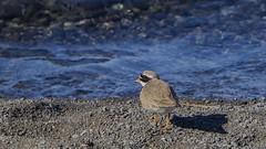 Sandla - Ringen Plover (ingolfssonvalur) Tags: bird wildlife fugl ringedplover charadriushiaticula ingvallavatn sandla