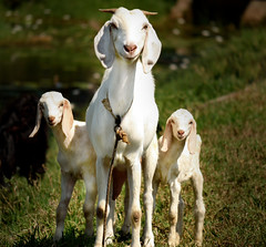 Mother - the protector (jyothis.m.thomas) Tags: white kids mother goat greenery protect
