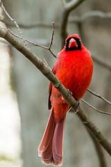 Cardinal (mattbpics) Tags: red canon cardinal tamron 70d 150600 150600mm