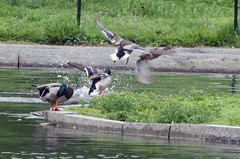 Ducks amuck (Tim Brown's Pictures) Tags: water birds washingtondc spring pond ducks nationalmall fowl constitutiongardens wildbirds timbrown