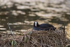 (jonathan_ed1984) Tags: lake bird water birds canon spring pond waterfoul nest wildlife coot 2016 7dmkii