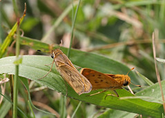 Fiery Skippers (Hylephila phyleus) (Mary Keim) Tags: centralflorida taxonomy:binomial=hylephilaphyleus lakeapopkanorthshorerestorationarea marykeim