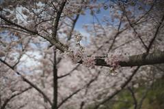 _DSC1391 (Osamu1965) Tags: flower japan landscape spring nikon sony jp   okayama   nikkorsauto50mmf14  a7m2