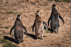 Three Amigos (alicecahill) Tags: animal argentina bird cabodosbahias magellanicpenguin patagonia penguin southamerica wild wildlife alicecahill dailyrayofhope droh