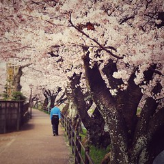 Hanami 2016: Sakura (Jon-F, themachine) Tags: flowers people plants plant flower nature japan walking asian outdoors flora asia olympus  cherryblossom  sakura cherryblossoms nippon japo oriental  orient  fareast  aichi  nihon hanami  omd    chubu japn    2016 m43  mft    mirrorless  chuubu   micro43 microfourthirds  ft xapn jonfu  mirrorlesscamera   em5ii em5markii