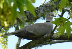 Eurasian-collared Dove, Astoria, Oregon (kellermartha453) Tags: trees urban canada oregon america spread maple soft florida suburban dove telephone flock north large southern wires perch astoria tall poles states areas 1970s bahamas accidental introduction westward rapidly cooing colonizing newcomer eurasiancollared