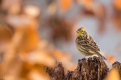 In the leafy window (lookashG) Tags: las trees winter tree bird nature birds animal animals fauna forest wildlife natura aves wintertime zima animalia emberizacitrinella ptak yellowhammer ptaki drzewa zwierzta portretrodowiskowy treecrowns trznadelzwyczajny trznadeltobrzuch lookashggmailcom portraitofenvironmental ukaszgwidziel sonyilca77m2 150600mmf563ssm