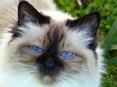 Blue blue blue (KerKaya) Tags: leica blue light cute beauty cat lumix eyes sweet panasonic sealpoint sacredebirmanie fz200 kerkaya