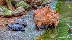 Capybaras, Burgers Zoo, Netherlands - 3593 (HereIsTom) Tags: travel sun holiday holland nature water netherlands dutch animals bike bicycle zoo cycling vakantie europe view you turtle sony arnhem tortoise nederland cybershot tourists burgers cycle views dieren fietsen dierentuin webshots schildpadden capybaras fietsvakantie capibaras hx9v