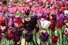 Colorful tulips at Lisse test garden (cklx) Tags: red holland yellow spring tulips may tulip april brightcolors tulpen noordwijkerhout tulp lisse 2016 bollenstreek hillegom