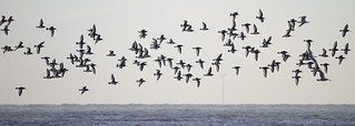 Oyster Catchers going to roost as high tide approaches