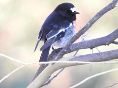 Scarlet Robin crowned (jeaniephelan) Tags: bird robin australianbird scarletrobin tasmanianbird malescarletrobin