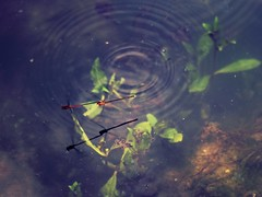 Pairs  (parrot0901) Tags: reflection insect pond dragonfly pairs  chinon135mmf28