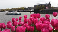 Amsterdam Tulpen (Knoffelhuisie Photography.) Tags: pink plant flower amsterdam rose tulips outdoor nederland flowerbed tulip noordholland tulpen tulpe roze tulp