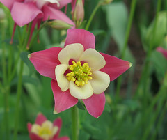 Another Columbine (qt flickr) Tags: longwoodgardens spring2016