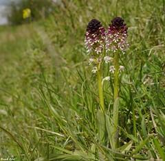 L'orchis brl (Neotinea ustulata) - Coteaux d'Eternoz (francky25) Tags: orchids brl franchecomt flore orchide sauvage doubs coteaux ustulata neotinea deternoz lorchis